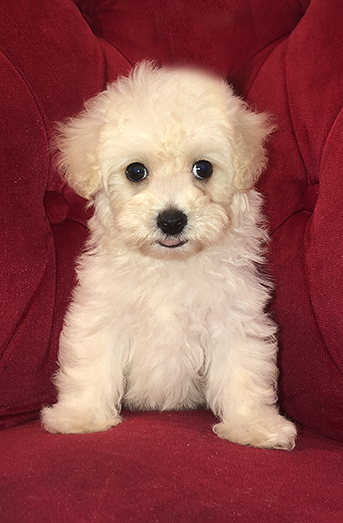 Pocket Puppies Boutique Chicago - Available Puppies