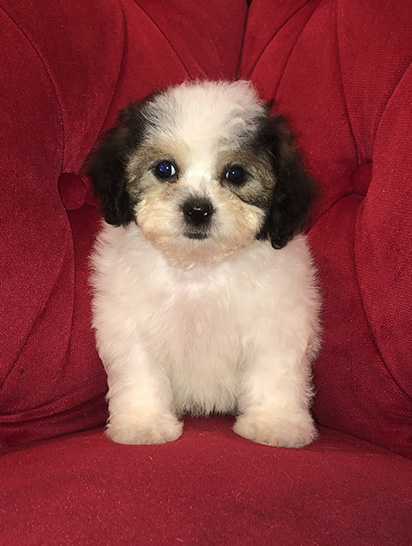 Pocket Puppies Boutique Chicago 773-857-1519